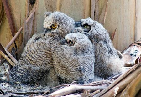babyowls